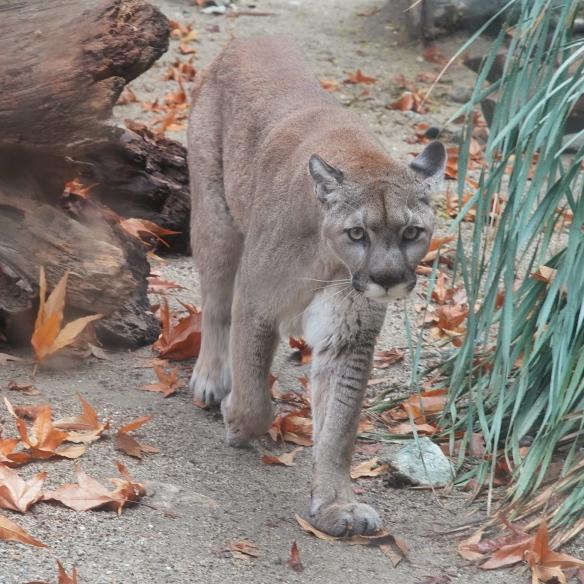 Mountain Lion, Living Desert Zoo, Palm Desert, CA