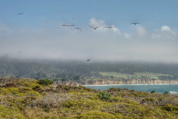 Brown Pelicans at Ano Nuevo state park, CA