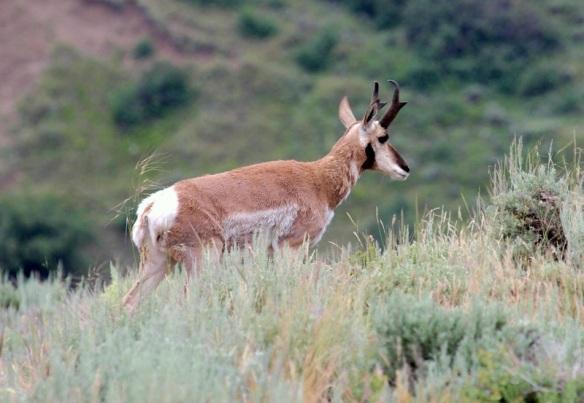 Pronghorn Antelope, Living Desert Zoo, Palm Desert, CA