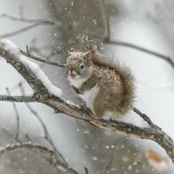 Red squirrel in snowfall