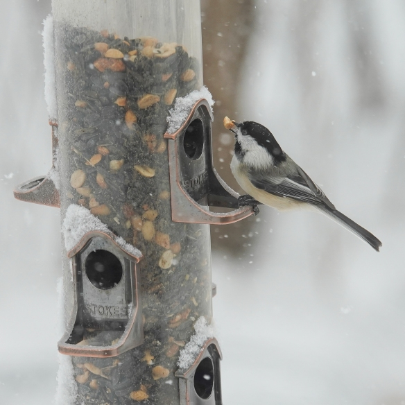black-capped chickadee-