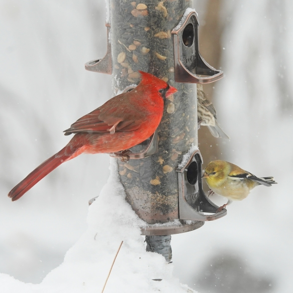 cardinal and goldfinch-