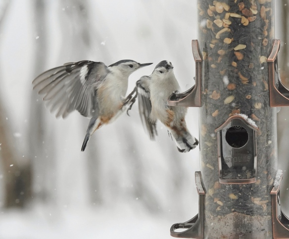 White-breasted Nuthatch landing on a feeder