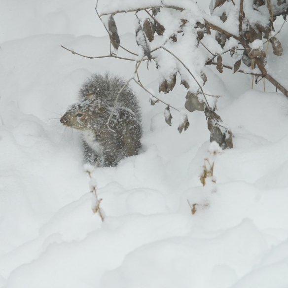gray squirrel foraging in a snow bank