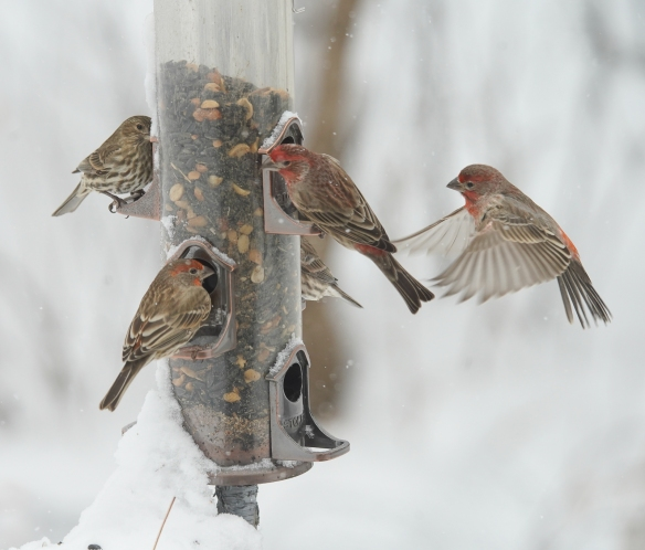 house finches and goldfinches