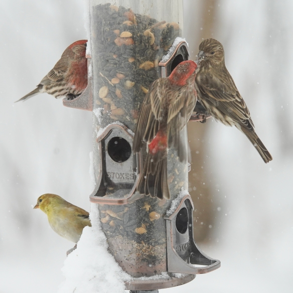 house finches and goldfinches-