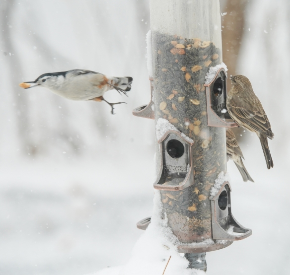 white-breasted nuthatch-