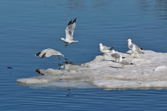 Ring-billed Gulls on the Mississippi River, Minneapolis