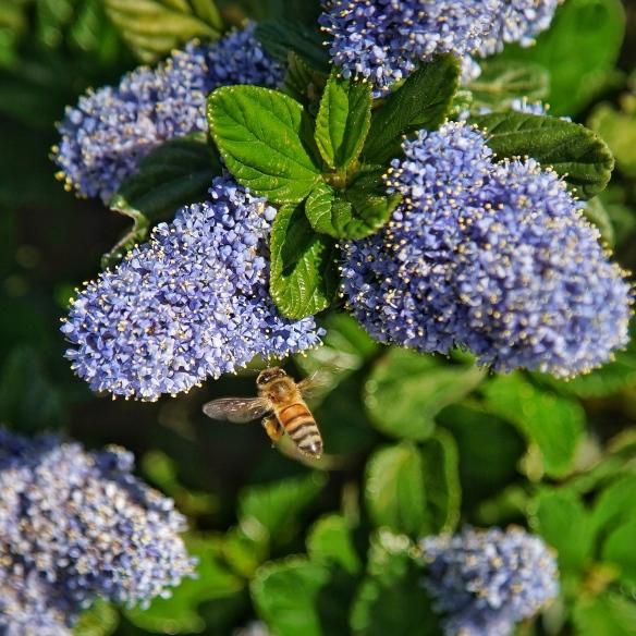 honeybee on Ceanothus (California lilac)