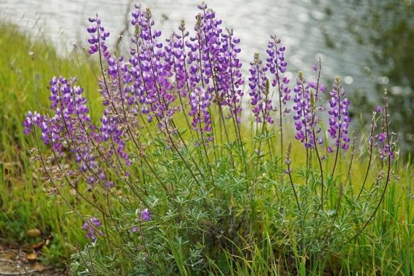 Wildflowers, Calero county park, San Jose CA