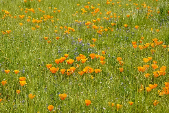 California poppy and lupines
