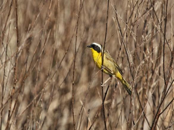 Common Yellowthroat male