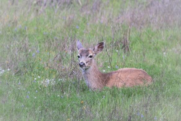 Mule deer herd in Calero County Park, San Jose CA