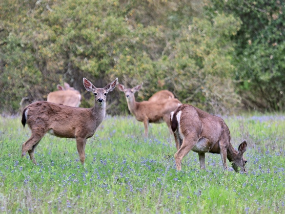 Mule deer herd in Calero County Park, San Jose CA
