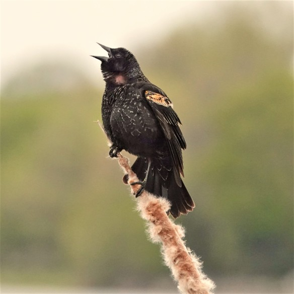 Second-year male Red-winged Blackbird